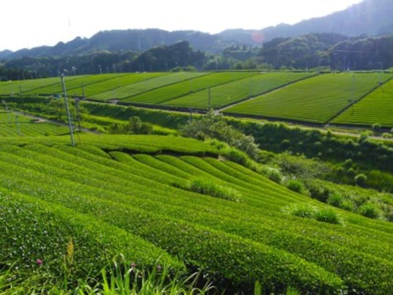東山地区の茶畑