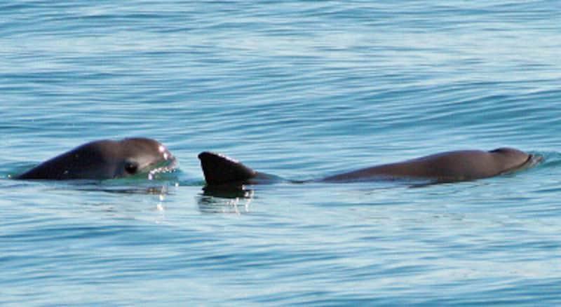 メキシコの世界遺産「カリフォルニア湾の島々と保護地域群」の固有種、コガシラネズミイルカ