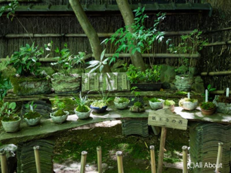 祇王寺の苔の展示