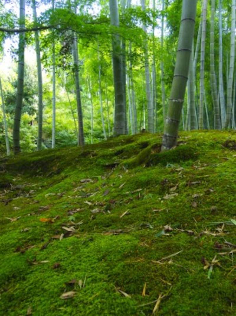 京都のお寺巡り4.常寂光寺の竹林の苔庭