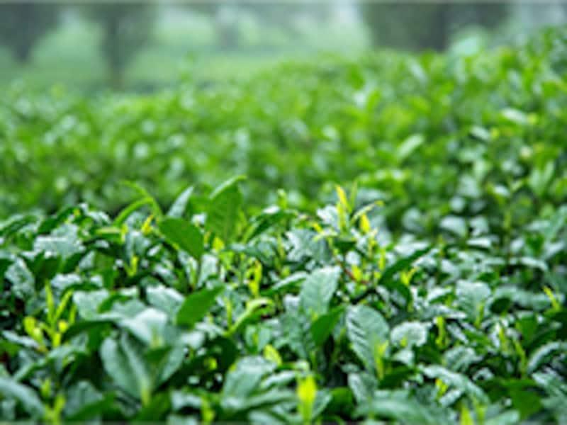 翠ボタニカル緑茶