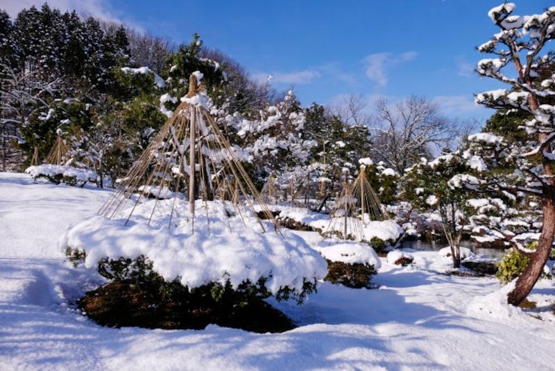 雪吊りをして、雪の重さにから木々を守ります