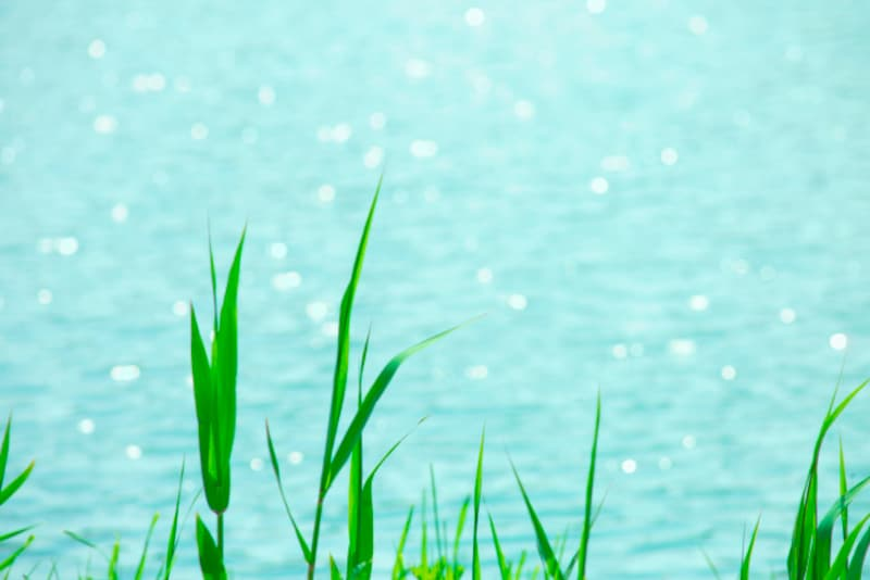 水辺に群生している葭。「あし」「よし」と読む理由がユニーク