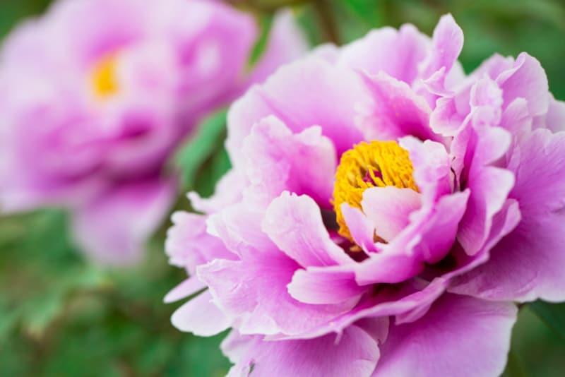 「百花の王」牡丹が咲く頃です