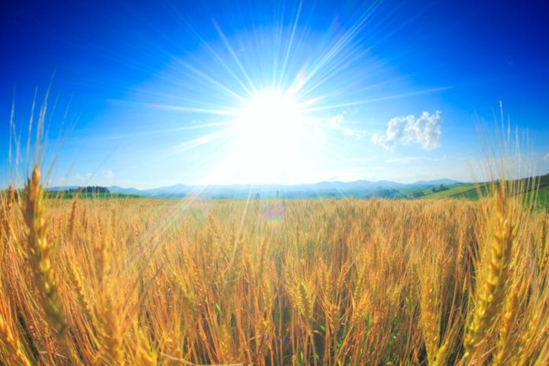 初夏なのに「麦秋」? 黄金色に染まった麦畑を「麦の秋風」が吹き抜けていきます