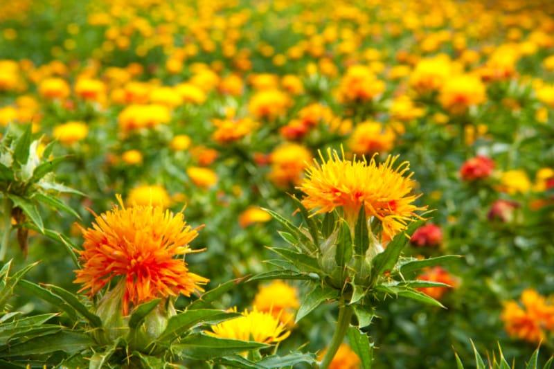 紅の染料になる紅花には「末摘花」という異名があります。