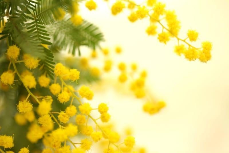 黄色い小花が房状に咲くミモザは女性に大人気!