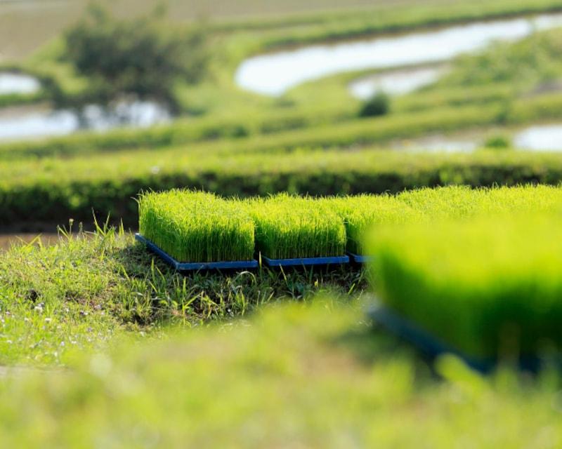 芒種とは、穂の出る穀物の種をまく時期。日本では、苗代に種をまいて育てた苗を田植えする方法で米を育てます