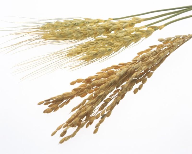 芒種の「芒」は、稲穂や麦穂の穂先にある細い毛のような部分を指す