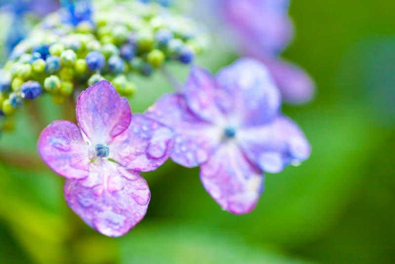 紫陽花は濡れた姿も美しく、梅雨に彩りを添えます