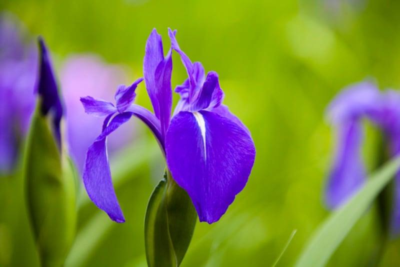 カキツバタは、外側の花びらに白い斑紋がある