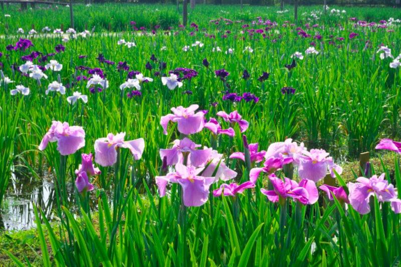 水辺に咲くハナショウブ。端午の節句に飾られるが、菖蒲湯に使っても効果はない