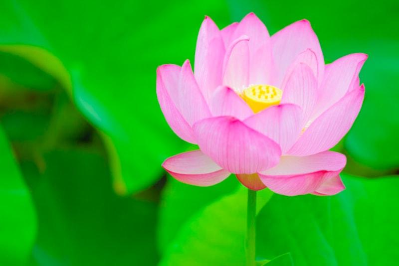 蓮の花は早朝に咲き、昼には閉じてしまいます