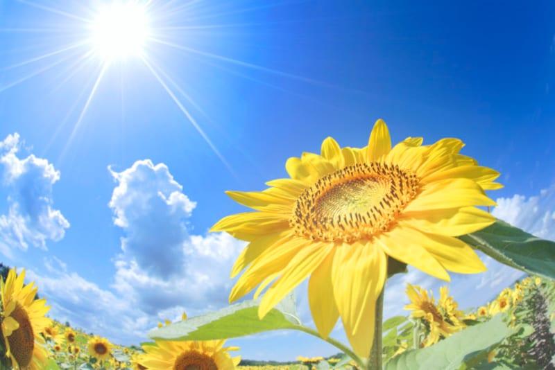 大暑(たいしょ)は暑さが最も厳しくなる頃。快晴が続き気温が上がり続ける時期で、まさに盛夏