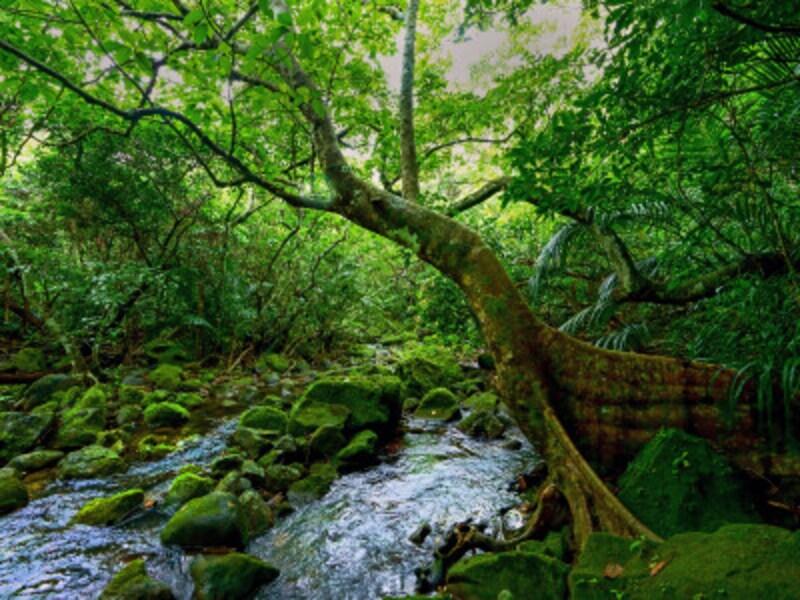 西表島の深い森