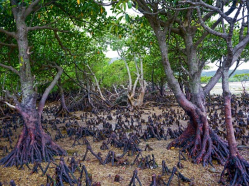 西表島のマングローブ林