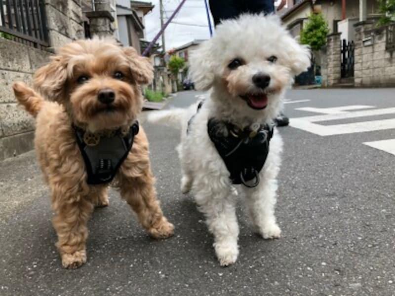 ミックス,愛犬,散歩,可愛すぎる,笑顔