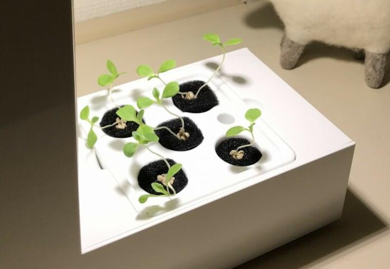 サラダ菜の芽が出たばかりのころ。芽が出るまでは付属のキャップをしておきます