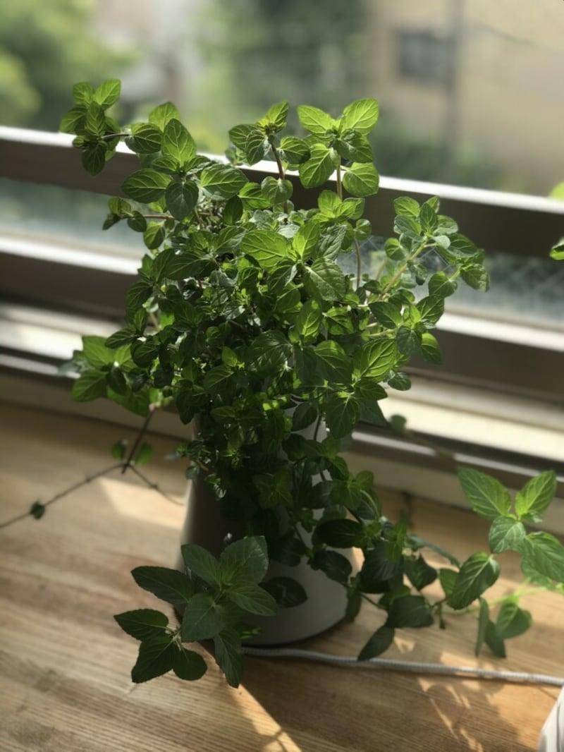 自宅のリビングではペパーミントを栽培しています