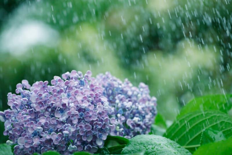 ビジネスシーンでよく使われる「五月雨式」ってどういうこと? そもそも「五月雨」とはどんな雨?