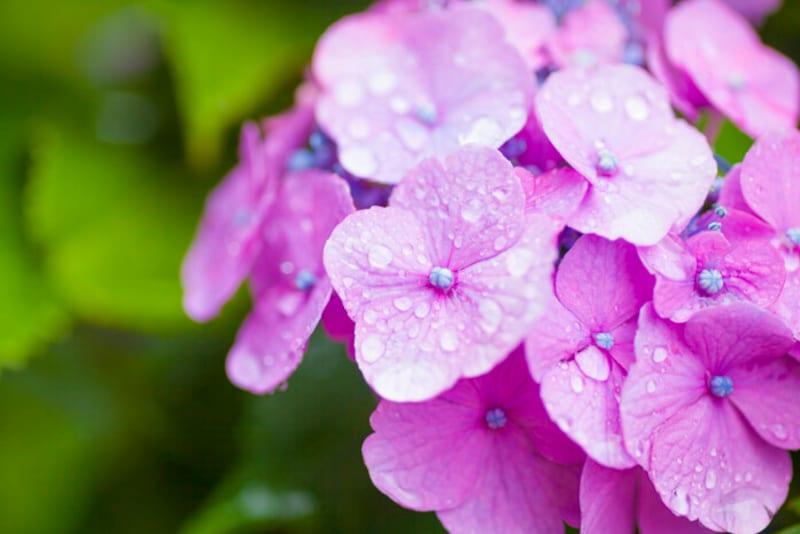 五月雨は梅雨のことをさしています