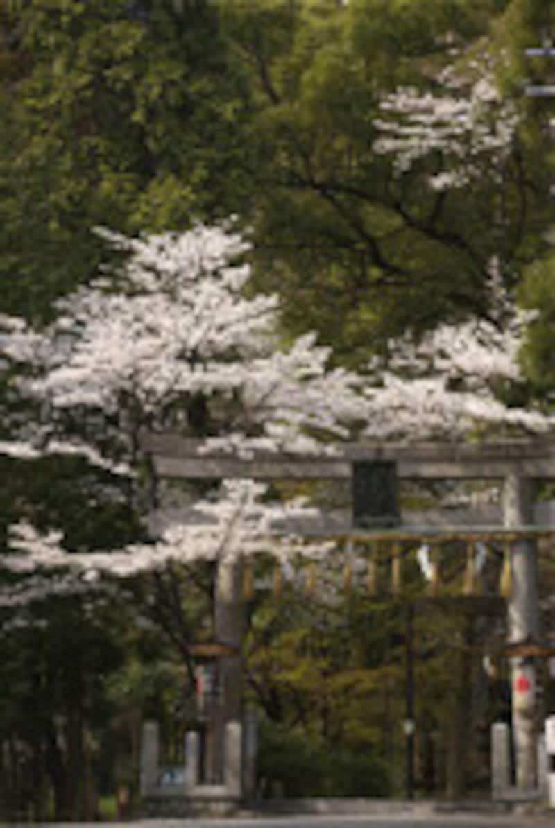椎尾神社鳥居と桜