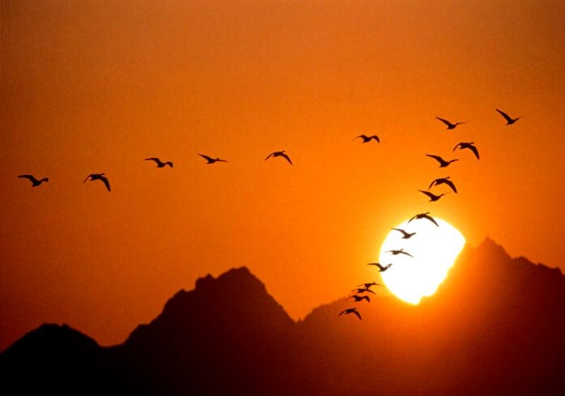 春に北へ帰っていった雁たちが、再びやってきます