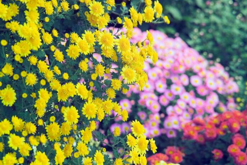 菊の花が咲き始める「菊花開(きくのはなひらく)」