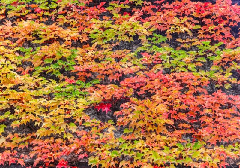 楓や蔦の葉が色づいてくる「楓蔦黄(もみじつたきばむ)」