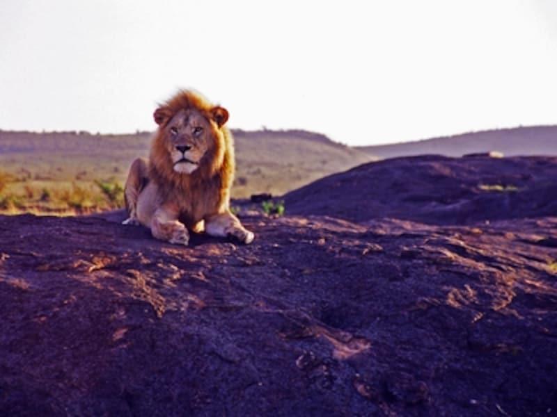 動物の楽園アフリカで、食物連鎖の頂点に立つ百獣の王ライオンのオス。セレンゲティ国立公園に点在するコピエと呼ばれる岩に上って周囲を睥睨している