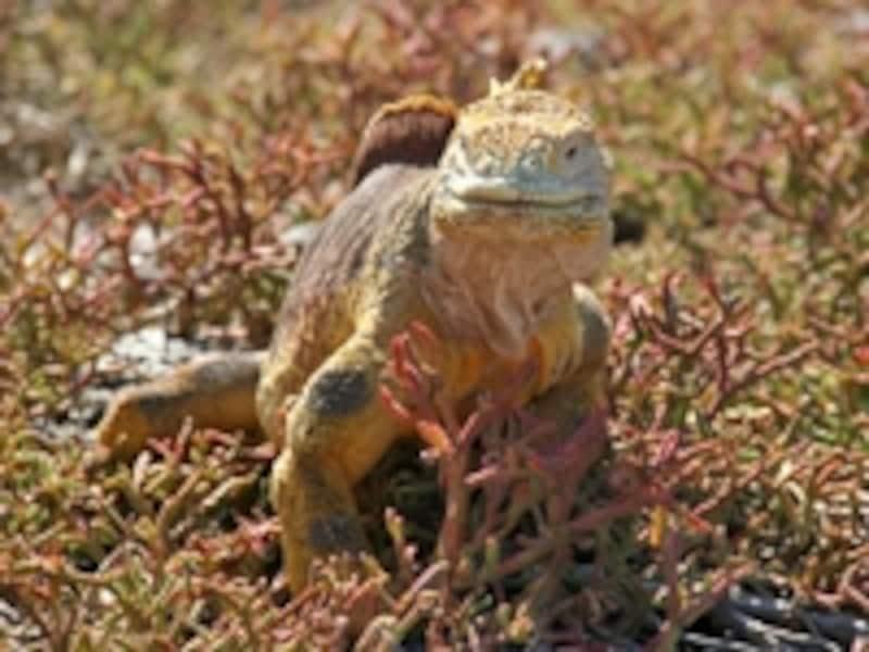 南米大陸から西へ1,000kmほどの位置にあるガラパゴス。写真はサボテンを食べることで知られるガラパゴスリクイグアナ
