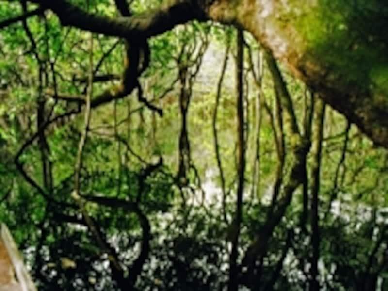 写真のように川岸にはシダやツル植物が繁茂するが、ジャングルの中は背の高い木々に覆われており、思いのほか歩きやすい