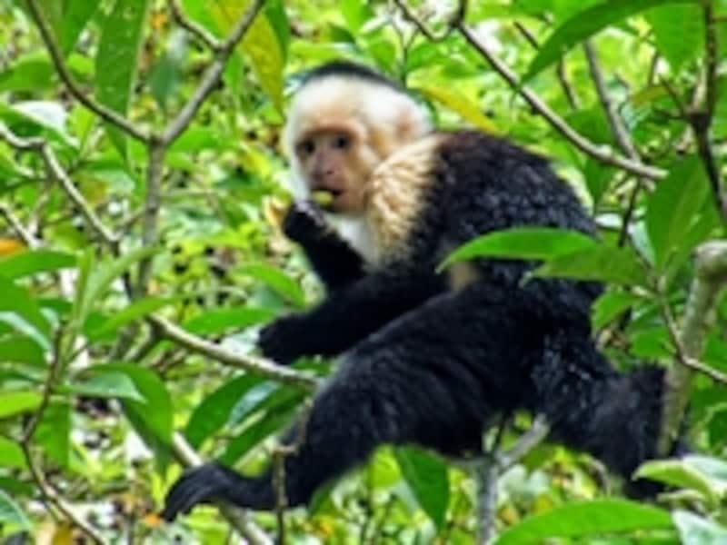 中南米にしかいない「新世界ザル」の一種、オマキザル科オマキザル属のノドジロオマキザル
