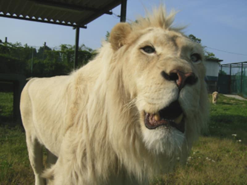 那須サファリパークのホワイトライオン