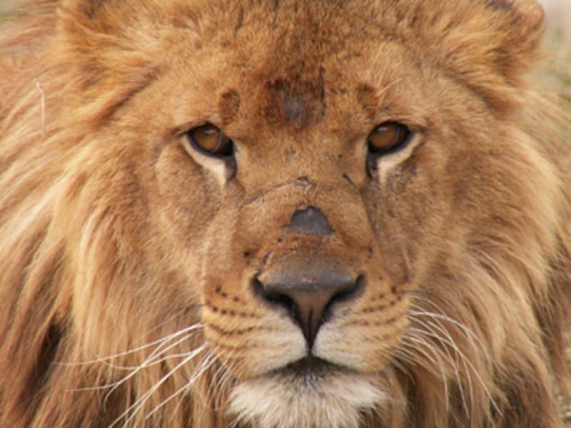 秋吉台サファリランドのライオン