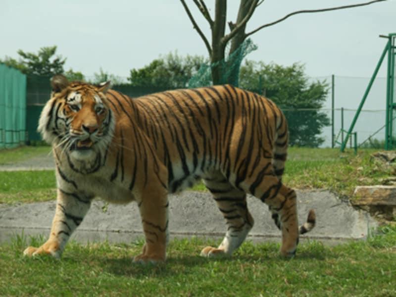 岩手サファリパークのトラ