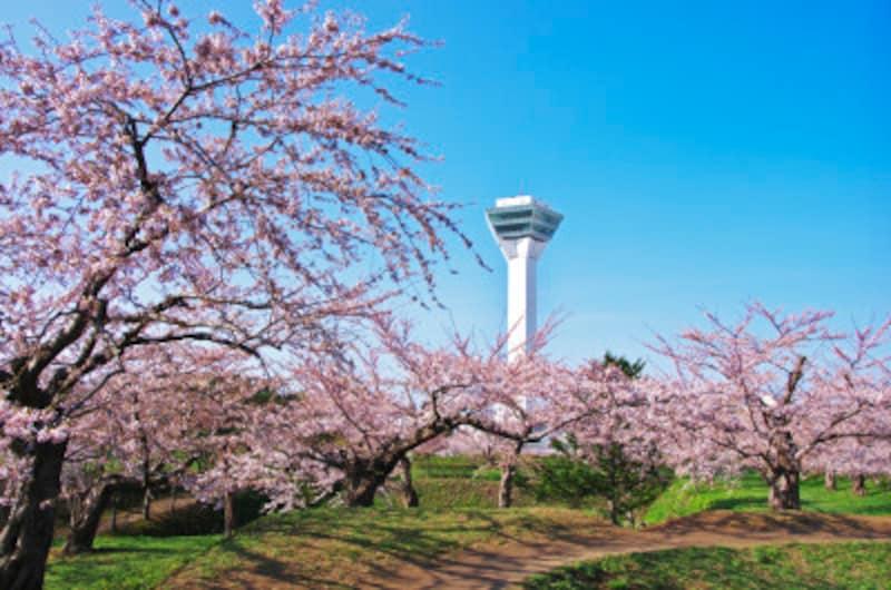 五稜郭公園の五稜郭タワーと桜。五稜郭公園は桜の名所としても有名です。