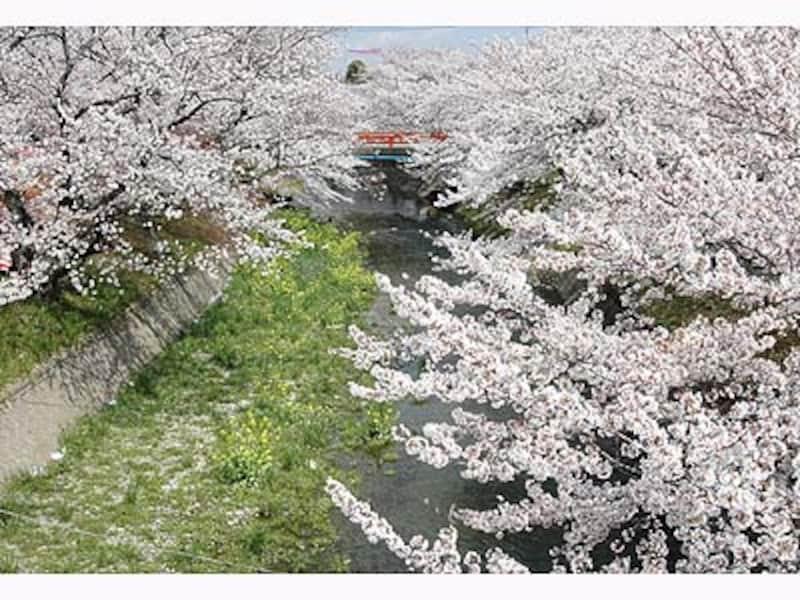 五条川・堀尾跡公園の桜