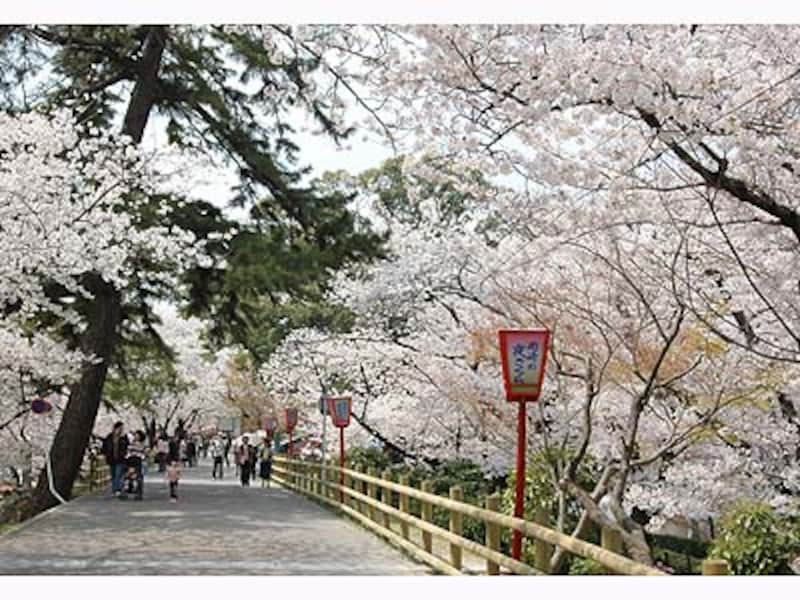 岡崎公園の桜、昼の様子