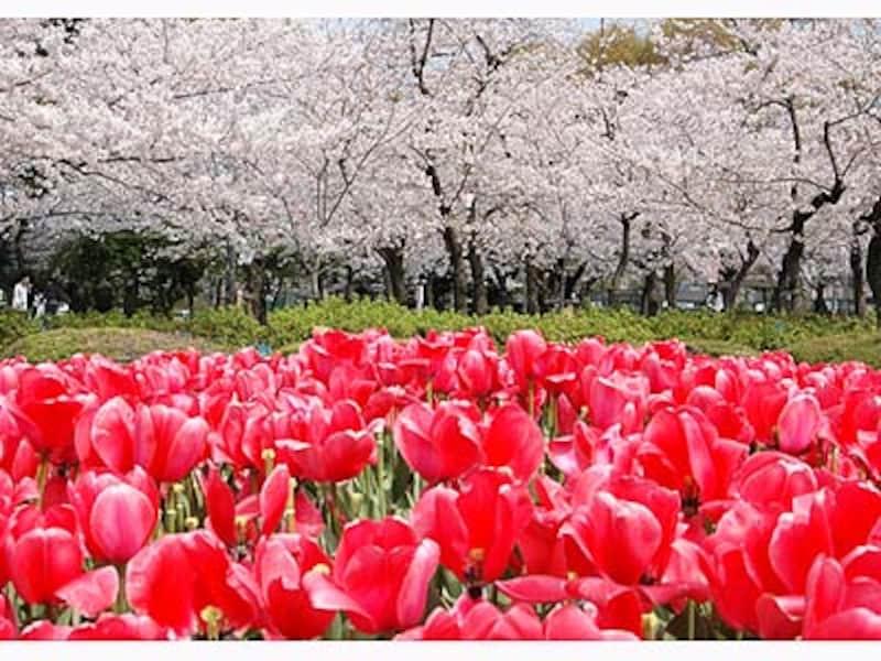 鶴舞公園の桜とチューリップ