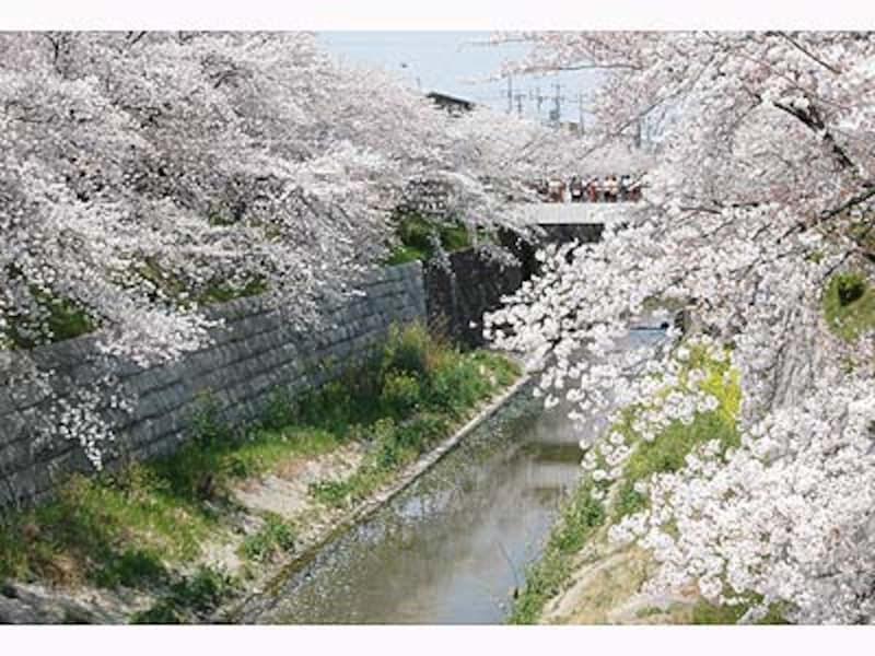 名古屋の桜・山崎川