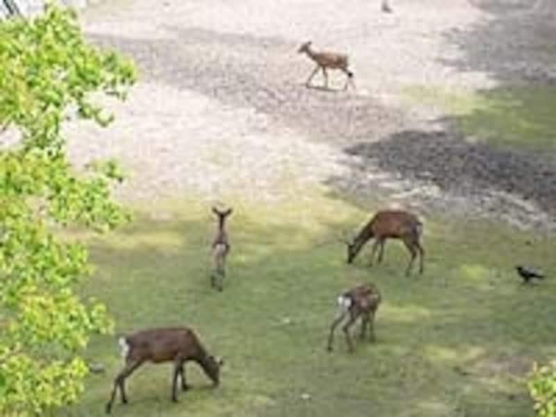 お堀の中で悠々と暮らす鹿たちは隠れた人気者
