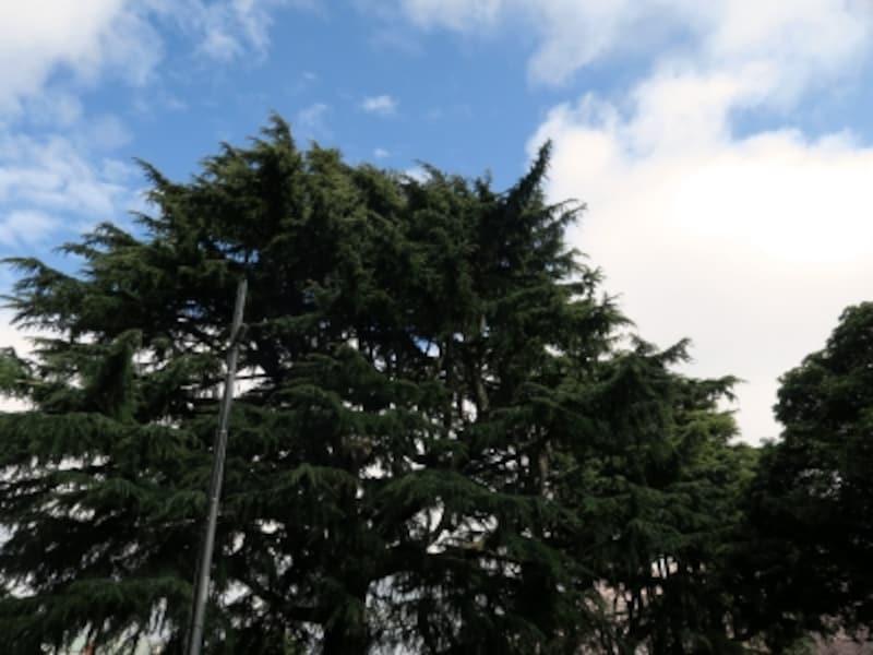 1879(明治12)年、イギリス人H.ブルックによって、インドから種が持ち込まれ、日本で初めて植えられたヒマラヤスギ。横浜市の名木・古木に指定されています(2017年4月7日撮影)