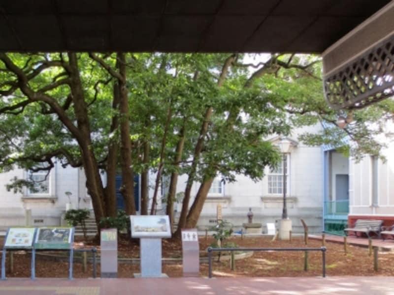 横浜開港資料館の中庭にそびえる、たまくすの木(2014年2月7日撮影)