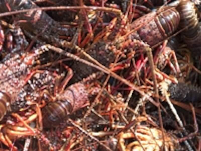 漁の時期(秋)には伊豆の各地で伊勢エビ祭りが開催される