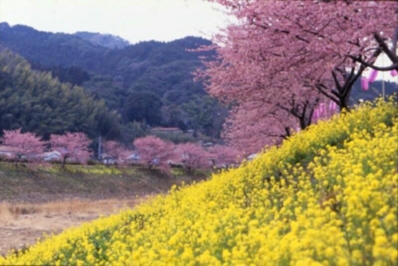 みなみの桜と菜の花まつり(南伊豆)