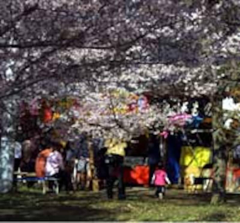 桜祭り中の高遠城趾の桜天井の光景