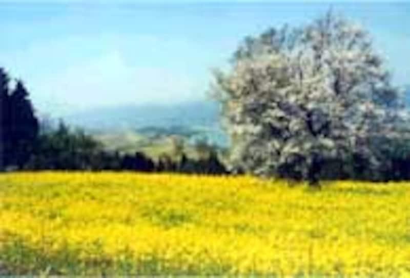 野沢村のとなり飯山瑞穂地区の菜の花畑