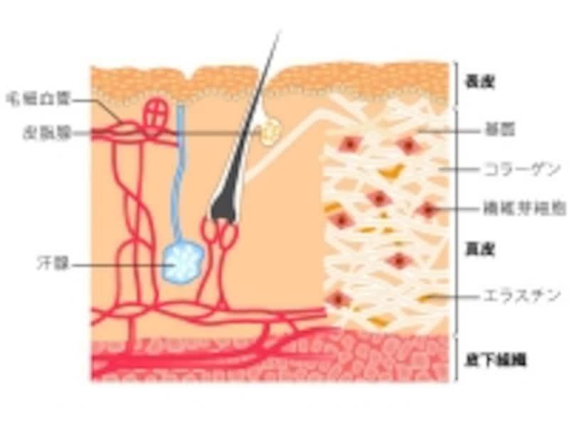 保湿ケアのために肌の構造を確認!