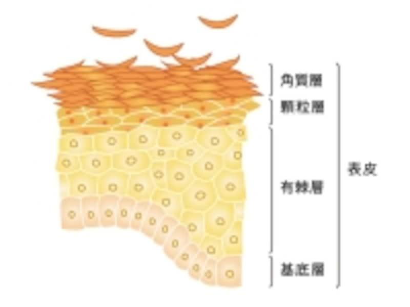 ターンオーバーが正常であれば肌は健康な証拠!
